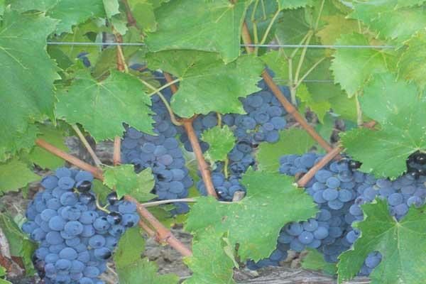 agostinetto-uva-morellino
